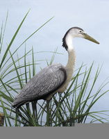 Image Great Blue Heron