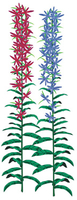 Image Cardinal Flower from Imagine Gold