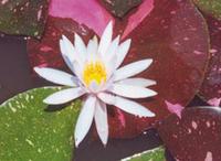 Image Arc-En-Ciel Hardy Water Lily