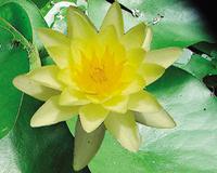 Image Chromatella (Yellow) Hardy Water Lily
