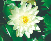 Image Denver (White) Hardy Water Lily