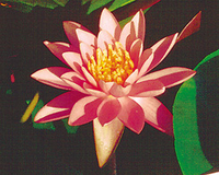 Image Firecrest (Pink) Hardy Water Lily