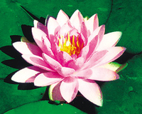 Image Hollandia (pink) Hardy Water Lily