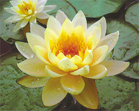 Image Inner Light (yellow) Hardy Water Lily