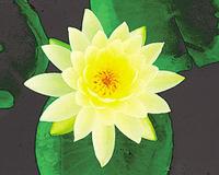 Image Lemon Mist (yellow) Hardy Water Lily