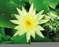 Image Mexicana (yellow) Hardy Water Lily