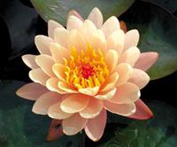 Image Mangkala Ubul Hardy Water Lily