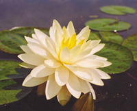 Image Perry's Double Yellow Hardy Water Lily