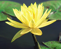 Image Texas Dawn (yellow) Hardy Water Lily