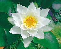 Image Virginalis (white) Hardy Water Lily