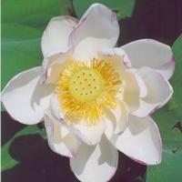 Image Empress Lotus