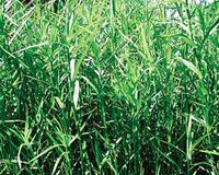 Image Dwarf Bamboo