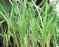 Image Variegated Cattail