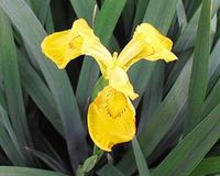 Image Iris, Dixie Deb