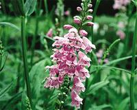 Image Obedient Plant