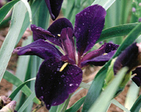 Image Iris, Black Gamecock