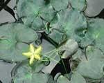 Image Snowflake, Yellow