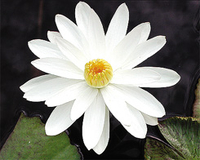 Image Trudy Slocum (white) Tropical Night Lily