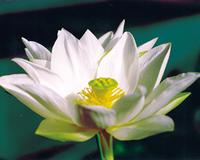 Image Tulip (white) Lotus