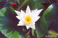 Image Albatros Hardy Water Lily