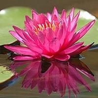 Image Bernice Ikis Hardy Water Lily