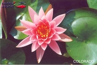 Image Colorado Hardy Water Lily