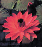 Image Red Flare (red) Tropical Night Lily