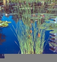 Image Common Cattail