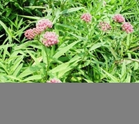 Image Pink Butterfly Plant