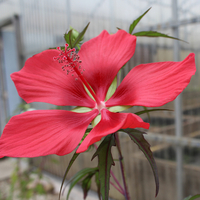 Image Red Hibiscus