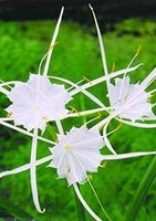 Image Spider Lily
