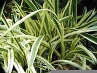 Image Varigated Spider Lily